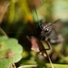Cvrliček