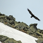 dsc_6350_golden_eagle-kopie